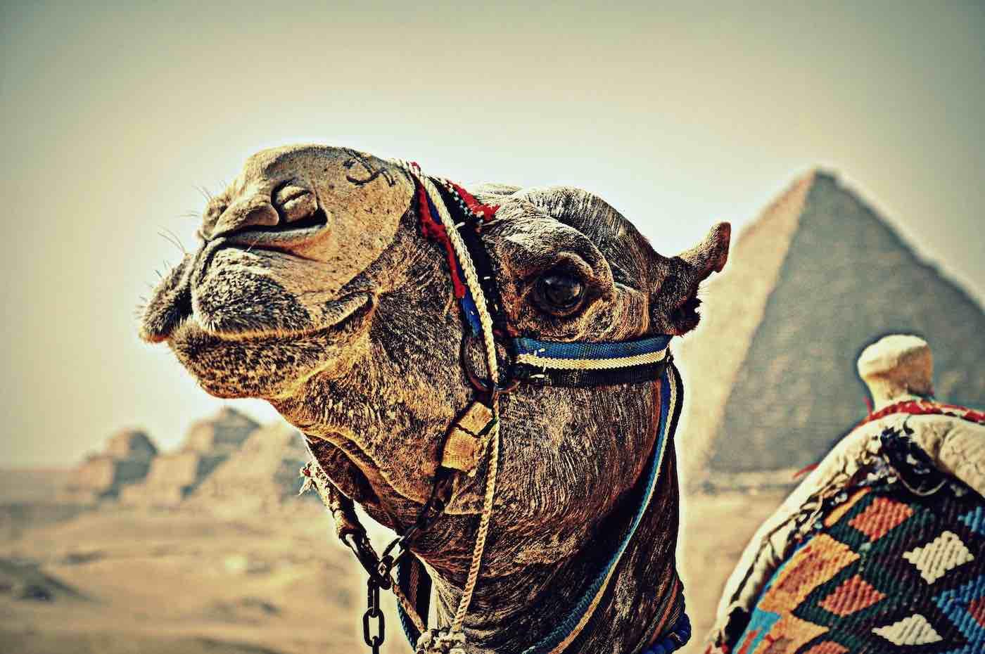 Reizen naar Egypte: Kameel en piramides